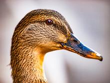 Closeup Female Mallard Duck Portrait.