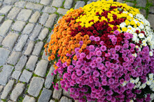 Colorful Chrysanthemum Or Oxeye Daisy  Flower To Arrange To Sphere For Decorated On Block Stone Walkway With Ancient Floor.