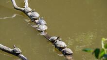 池に浮かぶ枝で日光浴する亀。一列に並ぶ亀。