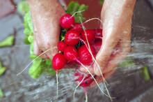 Wet Colorful Red  Roots Of Radish On Farm Wash  Splash