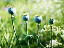 Poppy Flowers In Princess Diana Memorial Garden, Kensington Palace - London, UK