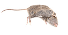 Dead Mouse Isolated On A White Background.