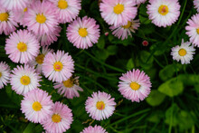 White Daisies With A Pink Edge. Top View.