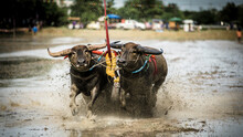 Na Pa Subdistrict, Ban Bueng District, Chon Buri, Thailand July Water Buffalo Racing Tradition Is A Folk Sport Of Chon Buri People During The Rice Farming Season