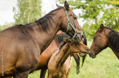 Canvas Horses with foal in pasture, Latvia.