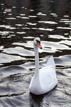 Swan Sitting On A Background Of Black Water