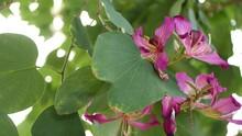 Purple Bauhinia Orchid Tree Flower Blossom, California USA. Violet Exotic Tropical Bloom, Jungle Rainforest Atmosphere Soft Focus. Vivid Dark Magenta Natural Botanical Floral Delicate Petals Close Up.