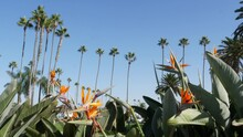 Palms In Los Angeles, California, USA. Summertime Aesthetic Of Santa Monica And Venice Beach On Pacific Ocean. Strelitzia Bird Of Paradise Flower. Atmosphere Of Beverly Hills In Hollywood. LA Vibes.