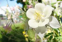 Flowers Aquilegia Or Watershed