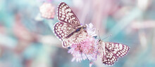 Two Lilac Butterflies On Flowers, Macro In The Wild, Soft Focus. Delightful Delicate Summer Background. Soft Focus, Author Processing.