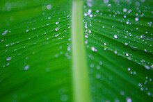 Many Drops Of Water On A Banana Leaf