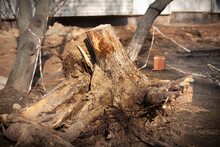 A Stump Of A Huge Poplar Was Uprooted From The Ground And Protected With A Ribbon.
