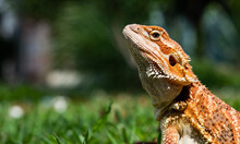 Bearded Dragon On Ground With Blur Background