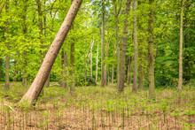 Fallen Broken Tree In British Forest In England Uk
