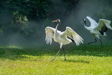 Red Crowned Crane In Green Grass