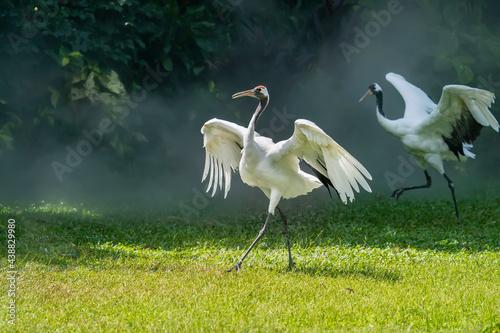 Fototapeta premium Red crowned crane in green grass