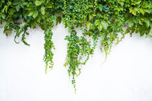 Ivy Plants Hanging Down On The White Wall
