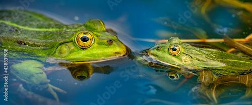Fotografiet rana esculenta - common european green frog is swimming in a garden pond