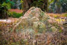 Huge Termite Mound-hill Nest Found By The Palm Tree Trunk.