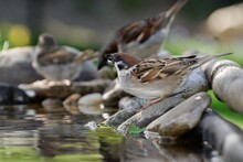 Three Sparrows Drinking Water From A Bird Watering Hole. Czechia. Europe.