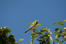 Funny Birds Oriole Striglitz Wagtail Blackbird Beautiful  Fly Without Wings