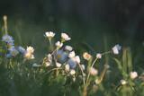 Fototapeta Kwiaty - Stokrotki kwiaty z bliska w blasku zachodzącego słońca, gęsto rosnące
