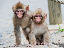 Small Japanese Snow Monkey Cubs At The Monkey Sanctuary In Japan