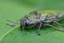 One Gray Beetle With Big Black Eyes Sits On A Green Leaf Of A Plant