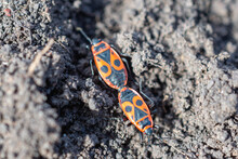 Mating Of The Soldier Bug (lat.Pyrrhocoris Apterus) Occurs By Connecting The Back Of The Body Of The Male And Female To Each Other.