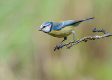 Eurasian Blue Tit (Cyanistes Caeruleus) Bird Perched On Twig In Profile Ready To Fly With A Smooth Pastel Coloured Background