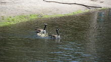 Mother  And Father Goose And Goslings.  Nature Waterfowl Background.