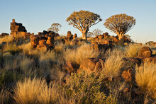 Quiver Trees On Rocky Hillside In Namibia