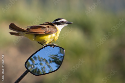 Obraz na plátně Aves Pecho amarillo, Bienteveo, Viudita, Costa Rica Tangara azuleja, Flycatcher, posando, cazando, comiendo