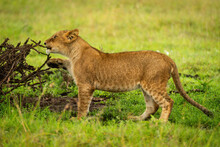 Lion Cub Stands Nibbling Branch Of Thornbush