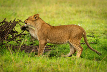 Lion Cub Stands Chewing Branch Of Thornbush