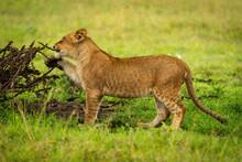 Lion Cub Stands Biting Branch Of Thornbush