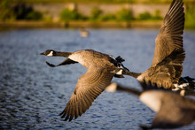 Canada Geese Flying Across A Pond In London, UK