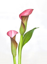 Pink Calla Flowers Close Up