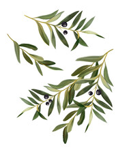 Watercolor Hand Painted Botanical Spring Olive Leaves And Branches Illustration Isolated On White Background