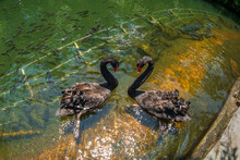 Two Black Swan