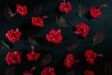 Red Hibiscus Flower And Leaf Pattern Photography, Chembarathi Flower, Top View Photography, Red Hibiscus Flower And Leaf In Dark Background, Light And