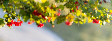 Summer And Autumn Background With Red Berries Of Viburnum Among Green Leaves In Sunny Weather, Panorama