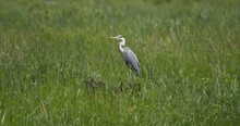 Grey Heron Wading Bird Standing Tall And Still In The Long Green Grass
