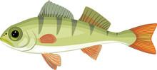 Juvenile Perch (Perca Fluviatilis) Freshwater Fish Isolated On White Background