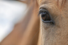 Eye Of A Young Thoroughbred Horse, Close-up.