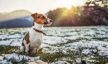 Small Jack Russell Terrier Sits On Green Grass Meadow With Patches Of Snow During Freezing Winter Day, Sun Shines Over Hills Behind Her