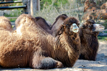 A Pair Of Bactrian Camels Camelus Bactrianus Of Sunny Day In The National Park