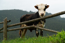 A Young Bull Behind A Fence In The Mountains