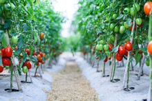 Ripe Red Cherry Tomatoes In Green House Farm