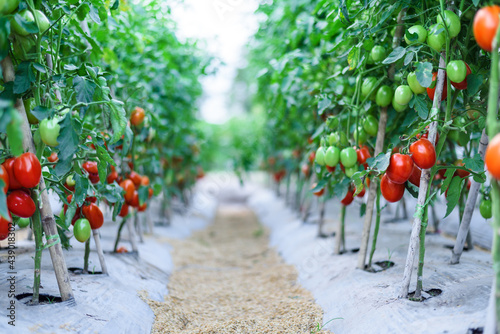 Fotografering ripe red cherry tomatoes in green house farm